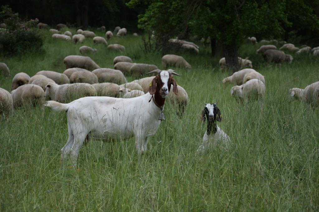 Schafe und Ziegen auf einer Weide