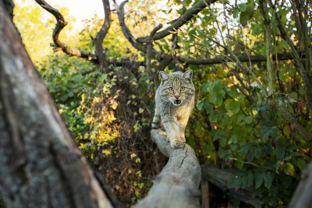 anschleichende Wildkatze auf einem liegenden Baumstamm