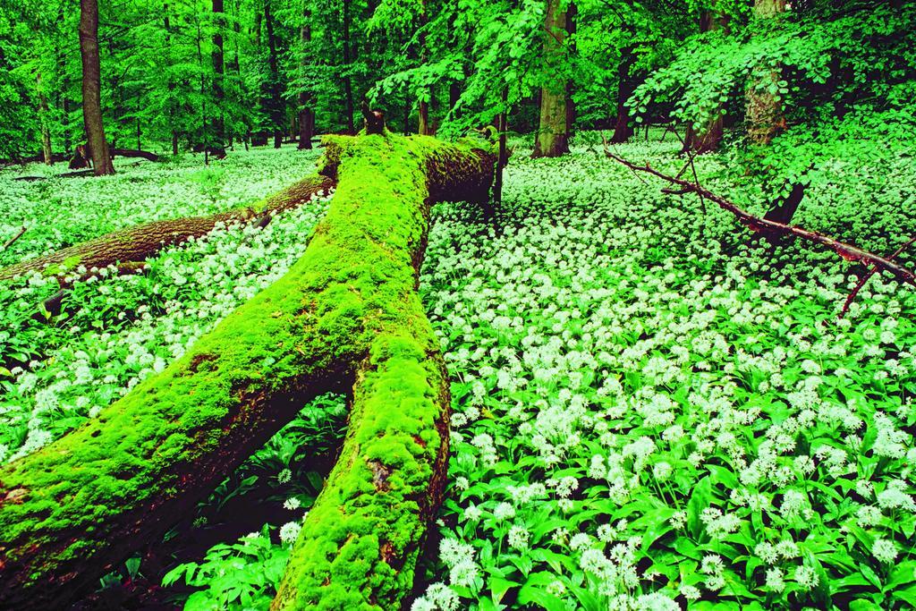 bemoostes Totholz auf einem Bärlauchteppich im Nationalpark Hainich