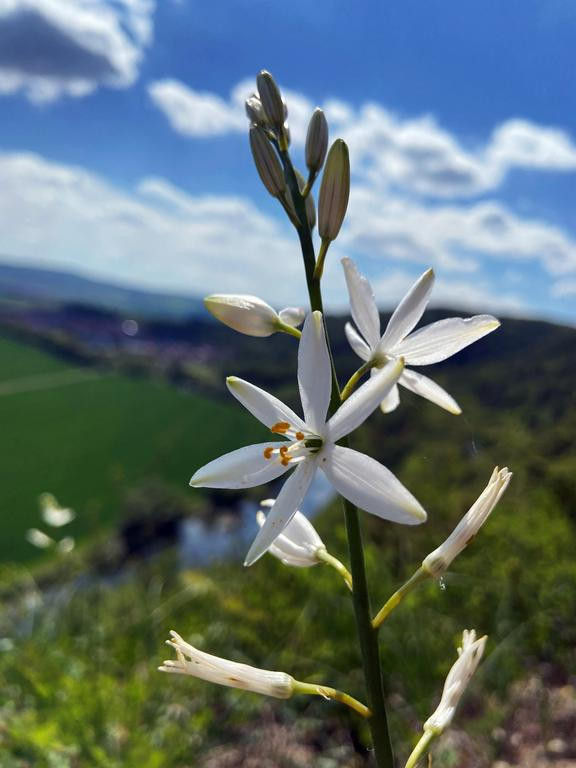 Graslilie (Foto: C. Wilhelm)