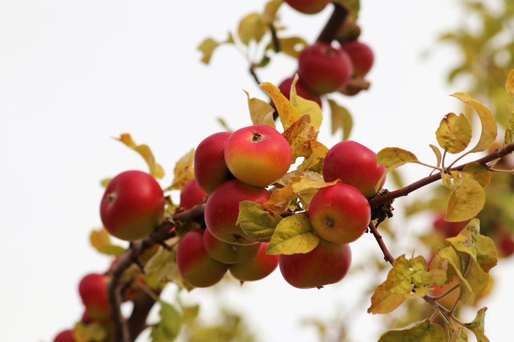 Herbst: Reife Äpfel am Baum