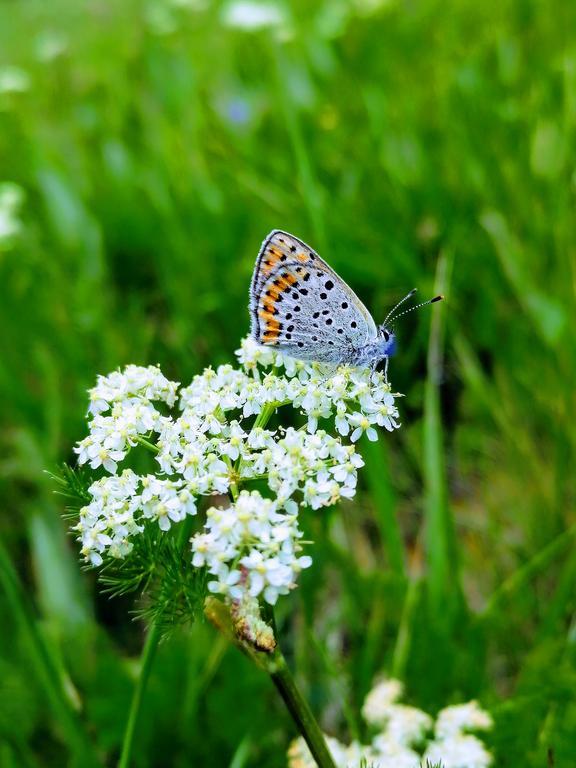 Bärwurz Schmetterling (© T. Heinz / Naturpark Thüringer Wald e. V.)