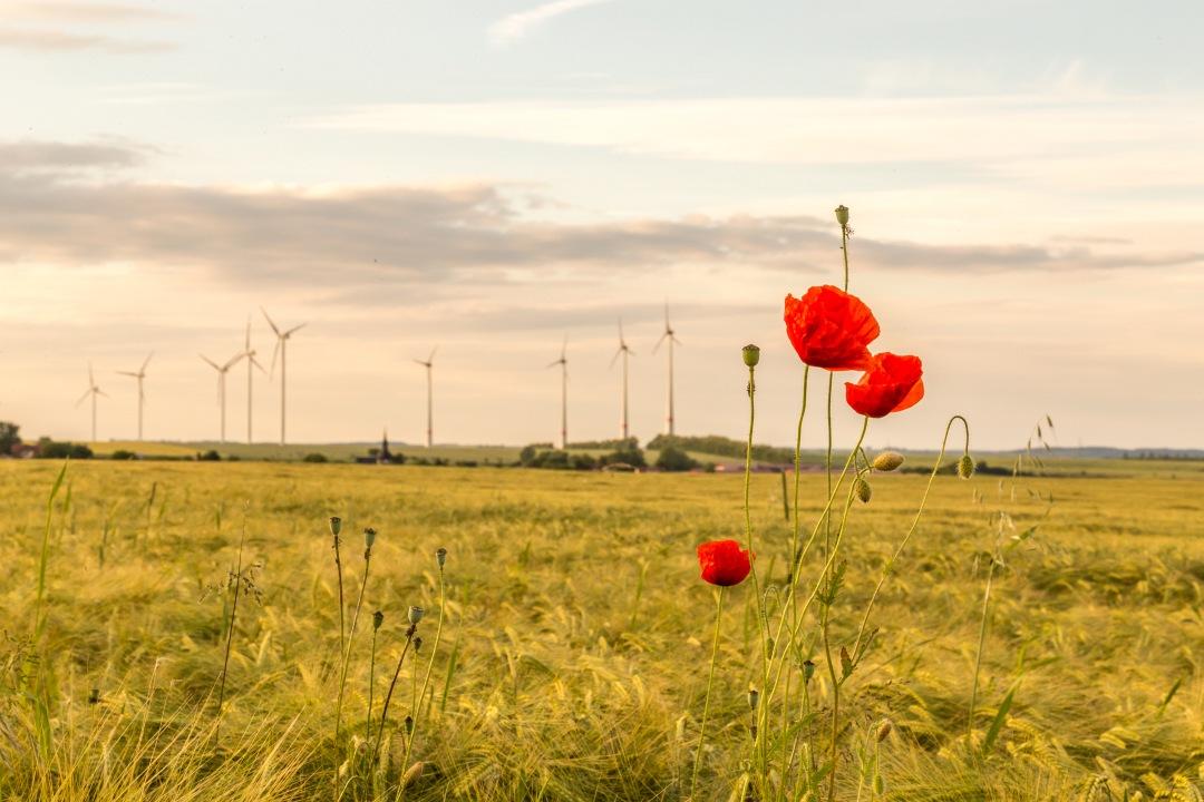 Windpark hinter einem Getreidefeld