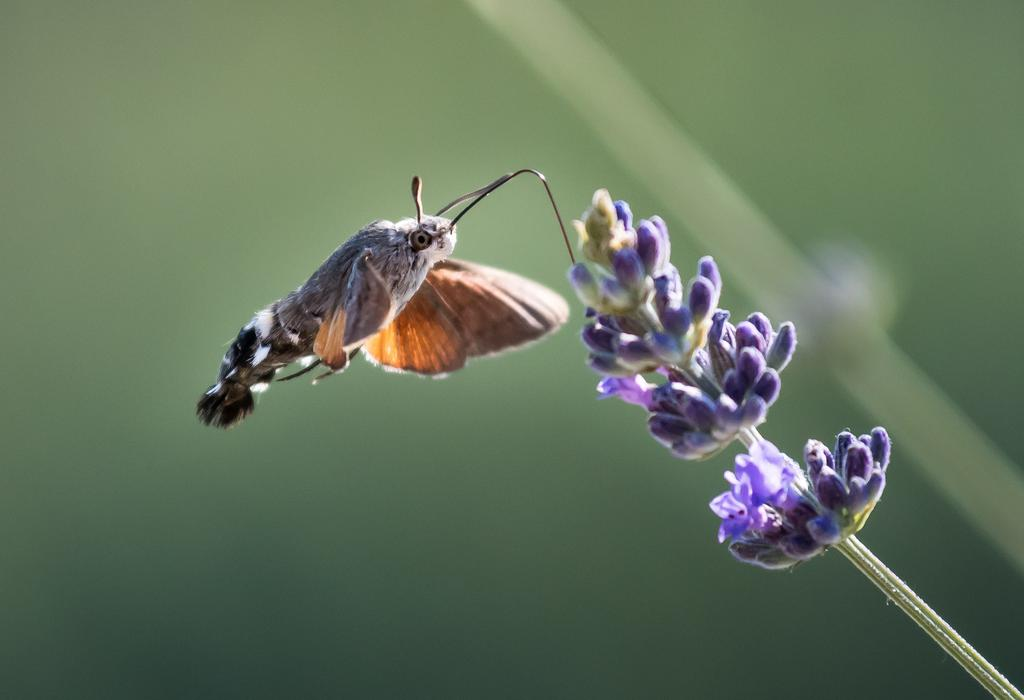 Ein Taubenschwänzchen, auch Kolibrischwärmer genannt, bei Nahrrungssuche an einer Blüte.