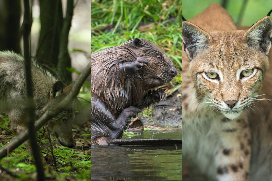 Montage von 3 Fotos: Wolf, Biber und Luchs