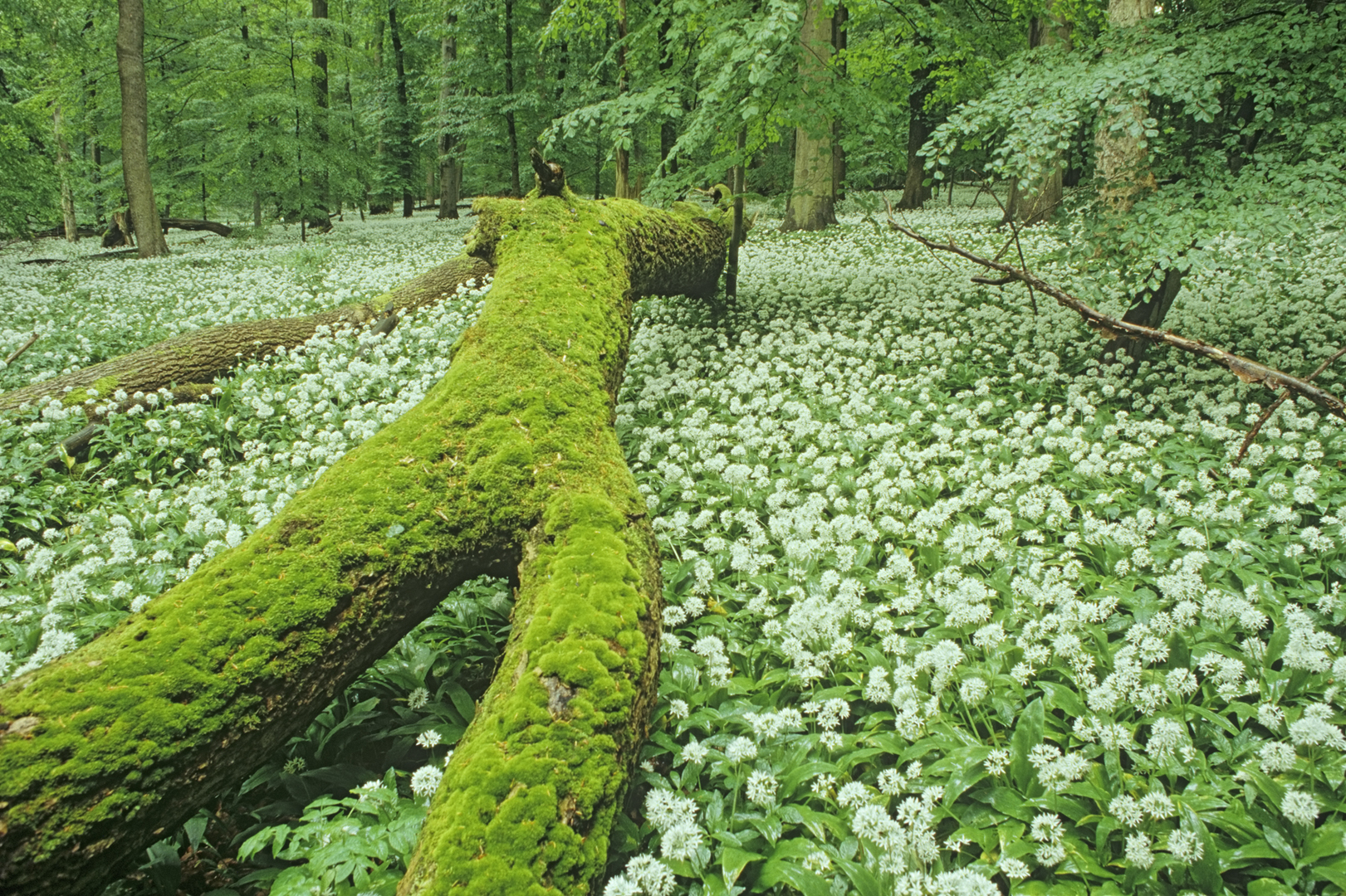 Bärlauchblüte im Wald